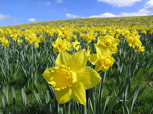 daffodil3